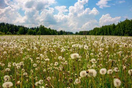 Field of dandelions on a summer day