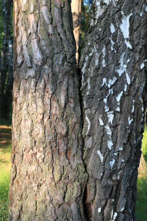 The trees have grown together, pine and birch