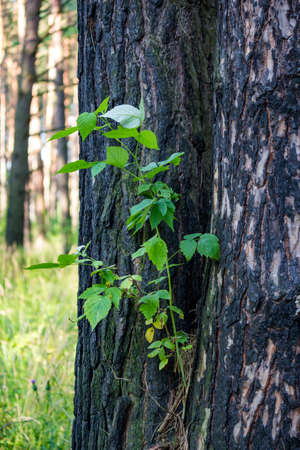 A shrub that sprouted between pine trunks. Nature clings to life