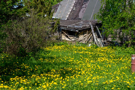 Bright flowering dandelions in the countryside