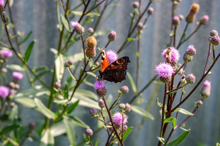 Peacock butterfly (Aglais io) sits on a plant thistle