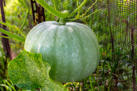 Green pumpkin growing on a fence in the garden