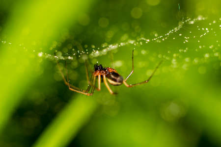 Little spider on a web with water drops on a green background