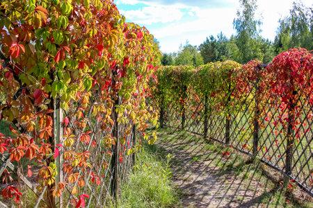 """Virginia creeper or """"Parthenocissus quinquefolia"""" leaves in the maze"""