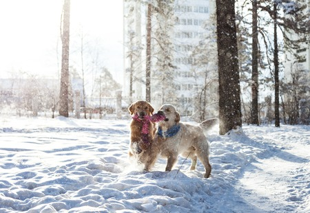 two young golden retriever playing in the snow in the park. Clothes for dogs. Pink and blue scarf