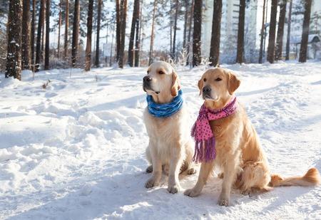 Twee jonge golden retriever spelen in de sneeuw in het park. Kleding voor honden. Hond in de winter in de warme heldere kleren. Stockfoto