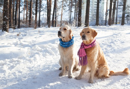 Two young golden retriever playing in the snow in the park. Clothes for dogs. Dog in the winter in the warm bright clothes. Banco de Imagens