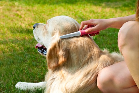 The content of Labrador. Care dog fur outdoors. Human hand brushing fur golden retriever. Hygienic procedures. Human friendship and dogs.