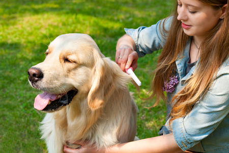 pure breed: The content of Labrador. A young girl cares for dog fur outdoors. The owner of a pure breed dog fur golden retriever. Human friendship and dogs. Hygienic procedures.