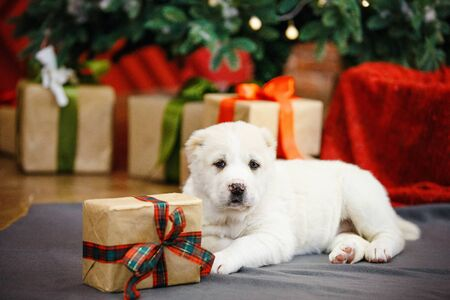 Adorable puppies of the Central Asian shepherd under the Christmas tree at home in the new year Standard-Bild - 132304477