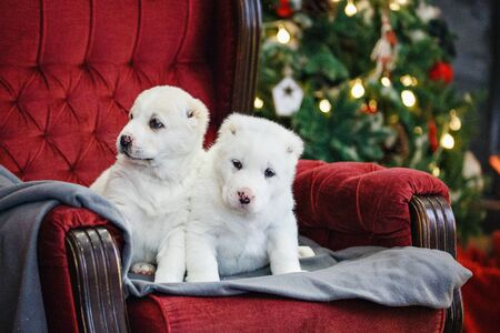 Little adorable white puppy, Central Asian shepherd dog on a red luxurious couch in the New Year. Standard-Bild - 132304473