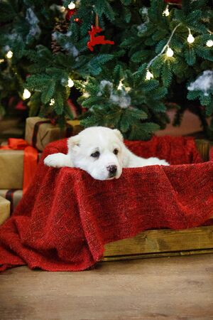 Adorable puppies of the Central Asian shepherd under the Christmas tree at home in the new year Standard-Bild - 132304476