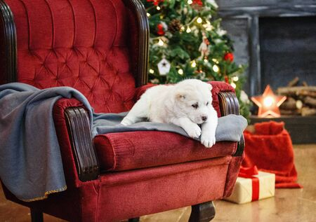 Little adorable white puppy, Central Asian shepherd dog on a red luxurious couch in the New Year. Standard-Bild - 132304475