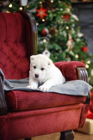 Little adorable white puppy, Central Asian shepherd dog on a red luxurious couch in the New Year. Standard-Bild - 132304478