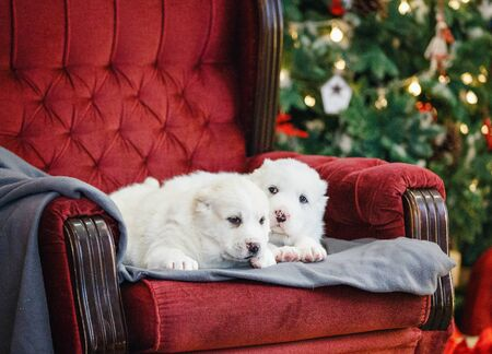 Little adorable white puppy, Central Asian shepherd dog on a red luxurious couch in the New Year. Standard-Bild - 132304479