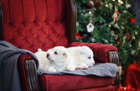 Little adorable white puppy, Central Asian shepherd dog on a red luxurious couch in the New Year. Standard-Bild - 132304481