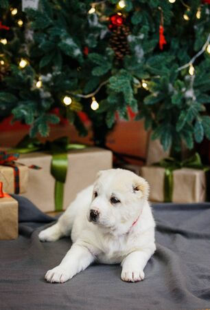 Adorable puppies of the Central Asian shepherd under the Christmas tree at home in the new year Standard-Bild - 132304482