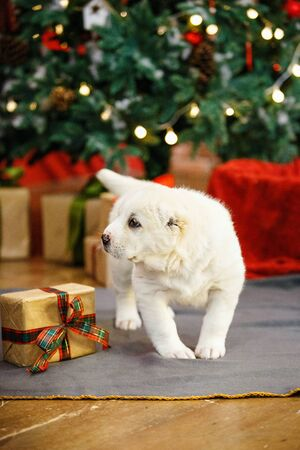 Adorable puppies of the Central Asian shepherd under the Christmas tree at home in the new year Standard-Bild - 132304484