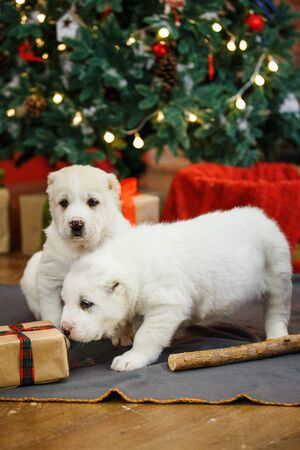 Adorable puppies of the Central Asian shepherd under the Christmas tree at home in the new year Standard-Bild - 132304483