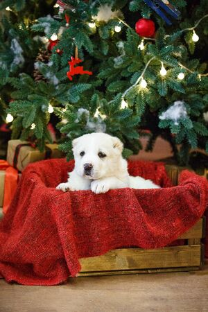 Adorable puppies of the Central Asian shepherd under the Christmas tree at home in the new year Standard-Bild - 132304487