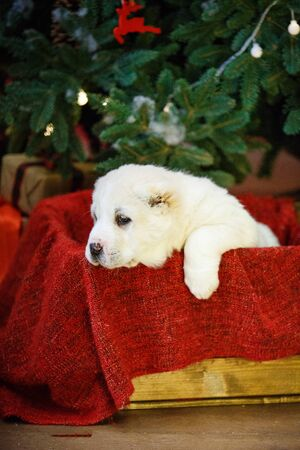Adorable puppies of the Central Asian shepherd under the Christmas tree at home in the new year Standard-Bild - 132304488