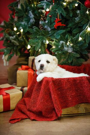 Adorable puppies of the Central Asian shepherd under the Christmas tree at home in the new year Standard-Bild - 132304489