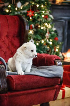 Little adorable white puppy, Central Asian shepherd dog on a red luxurious couch in the New Year. Standard-Bild - 132304490