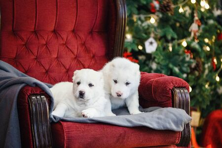 Little adorable white puppy, Central Asian shepherd dog on a red luxurious couch in the New Year. Standard-Bild - 132304491