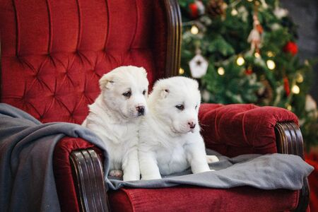 Little adorable white puppy, Central Asian shepherd dog on a red luxurious couch in the New Year. Standard-Bild - 132304516