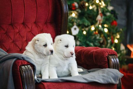 Little adorable white puppy, Central Asian shepherd dog on a red luxurious couch in the New Year. Standard-Bild - 132304517