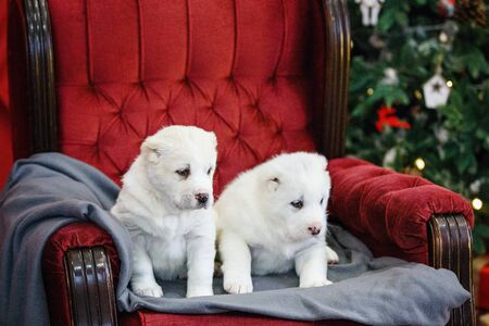 Little adorable white puppy, Central Asian shepherd dog on a red luxurious couch in the New Year. Standard-Bild - 132304518