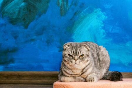 Displeased Scottish fold cat on the background of a colored blue wall. Gray scottish fold cat close-up. Displeased expression of the muzzle. Copy space Standard-Bild - 134278806