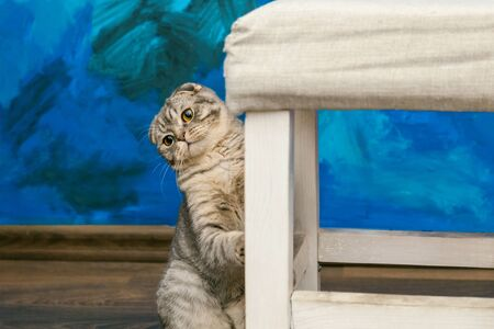 Playful scottish fold cat on the background of a colored blue wall. Gray scottish fold cute cat closeup