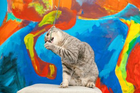 Playful scottish fold cat on the background of a colored blue wall. Gray scottish fold cute cat closeup Standard-Bild - 134278903
