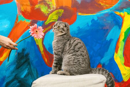 Surprised Scottish fold cat on a background of a colored blue wall. Gray scottish fold cat close-up. Big yellow eyes. Copy space. Standard-Bild - 134278907