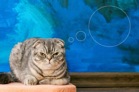 Displeased Scottish fold cat on the background of a colored blue wall. Gray scottish fold cat close-up. Displeased expression of the muzzle. Copy space. Banco de Imagens