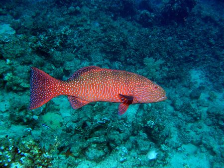 Large male of red coral grouper swimming around the reef photo