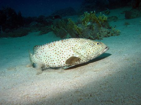 Arabian grouper. Greasy grouper fish also known as Epinephelus tauvina, Hamoor on the bottom near the coral reef photo