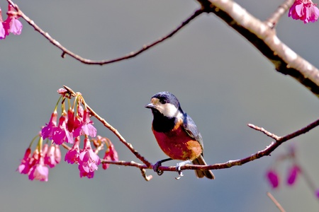 Varied Tit stand on branches with cherry blossoms photo