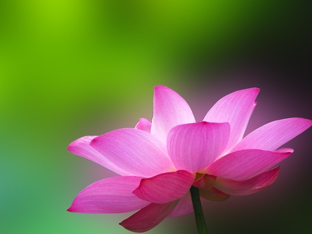 A bloom lotus in summer