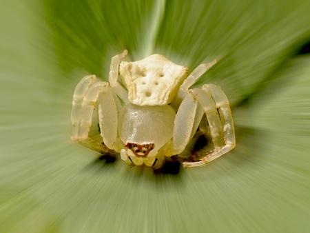Misumenops tricuspidatus (Fabricius) a white limpid spider photo