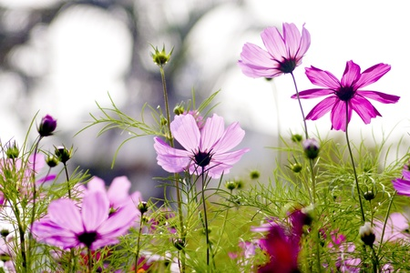 Cosmos bipinnatus cloroful flowers garden in spring