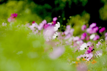 Cosmos bipinnatus cloroful flowers garden in spring  photo