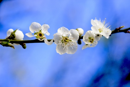 plum blossoms bloom in winter in taiwan