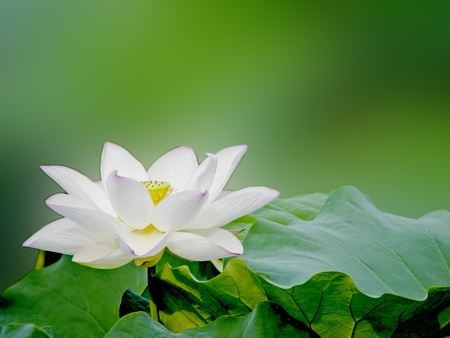 pink lotus: a white bloom lotus with seed and leaf in summer Stock Photo