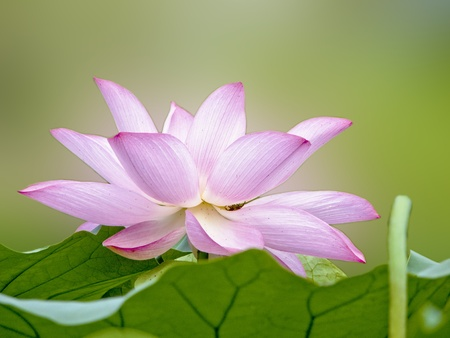 a bloom lotus with seed and leaf in summer photo