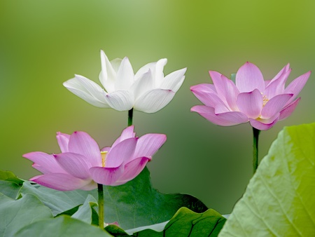 a group bloom lotus with seed and leaf in summer photo