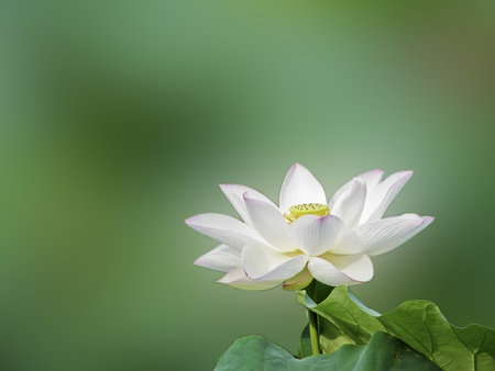 a bloom lotus with seed and leaf in summer Standard-Bild