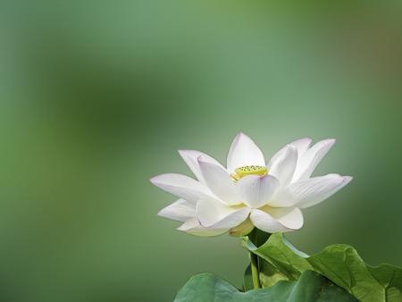 flor loto: un loto de floraci�n con semillas y hojas en verano Foto de archivo