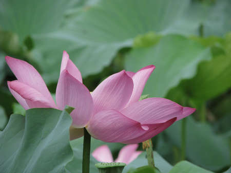 a bloom lotus with leaf in summer